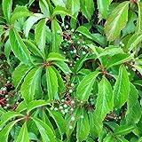 Wilder Wein 'Engelmannii' - Schnellwachsende Kletterpflanze von PlantaPro